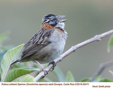 Rufous-collared Sparrow A82471.jpg