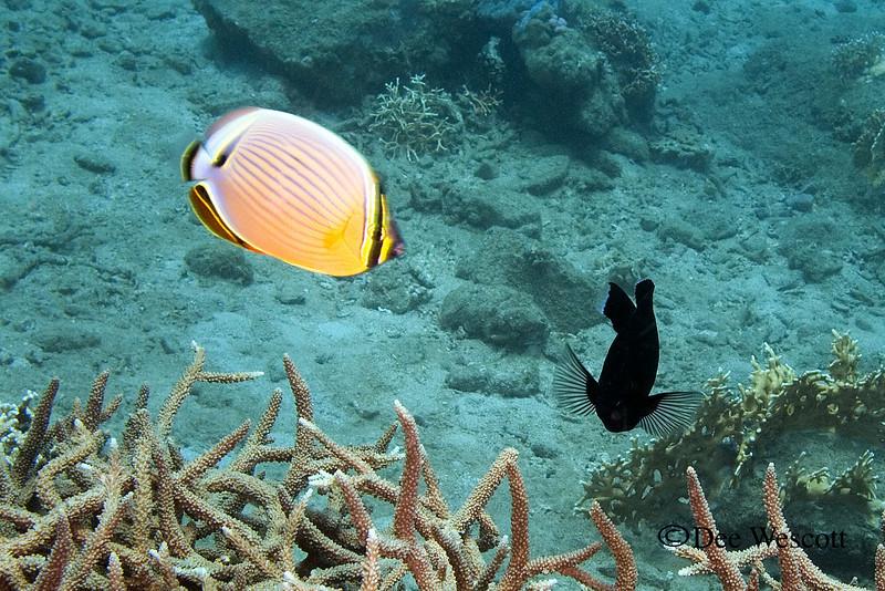 Redfin Butterfly.jpg