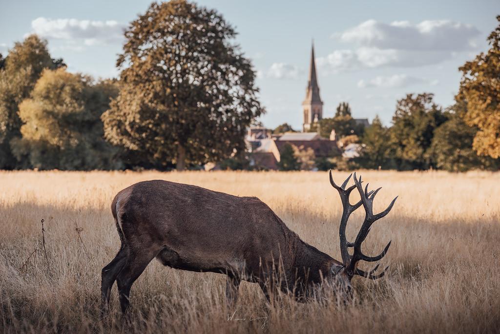 倫敦Richmond Park介紹與旅遊建議 by 張威廉 Wilhelm Chang