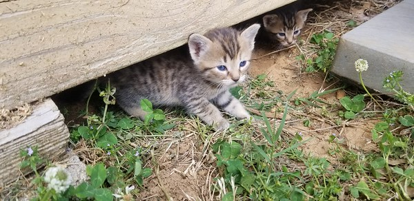 Kittens born April 23rdish 2018