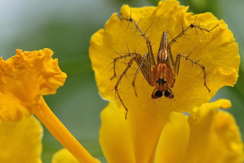 Lynx-Spider.jpg