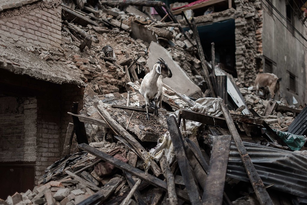 . Goats look for food in the wreckage of a house in Khokana, a village dating back hundreds of years, on the outskirts of Kathmandu on April 29, 2015, following a 7.8 magnitude earthquake which struck the Himalayan nation on April 25.   Rescuers are facing a race against time  to find survivors of a mammoth earthquake that killed more than 5,000 people when it through Nepal five days ago and devastated large parts of one of Asia\'s poorest nations.  AFP PHOTO/Philippe  LOPEZ/AFP/Getty Images