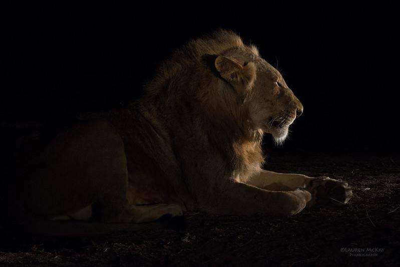 African Lion, Sabi Sands (EP), SA, Oct 2016-30.jpg