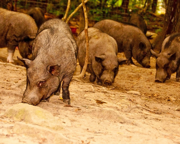 """Another photo I happened to really like from PigPals. I'm planning on entering these two in the """"Show Your Swine"""" competition in Sampson County."""