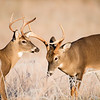 White-tailed deer bucks sparring