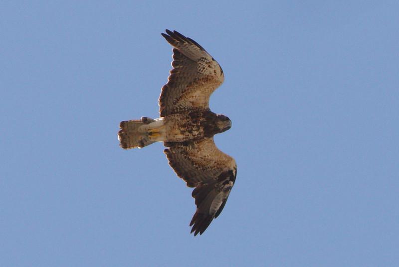 Swainson's Hawk light morph second summer (1) at Firebaugh, CA (07-18-2009)