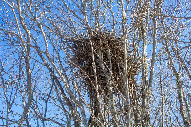 Black-billed Magpie nest at Paul Meuller's place Sax-Zim Bog MN IMG_0233.jpg