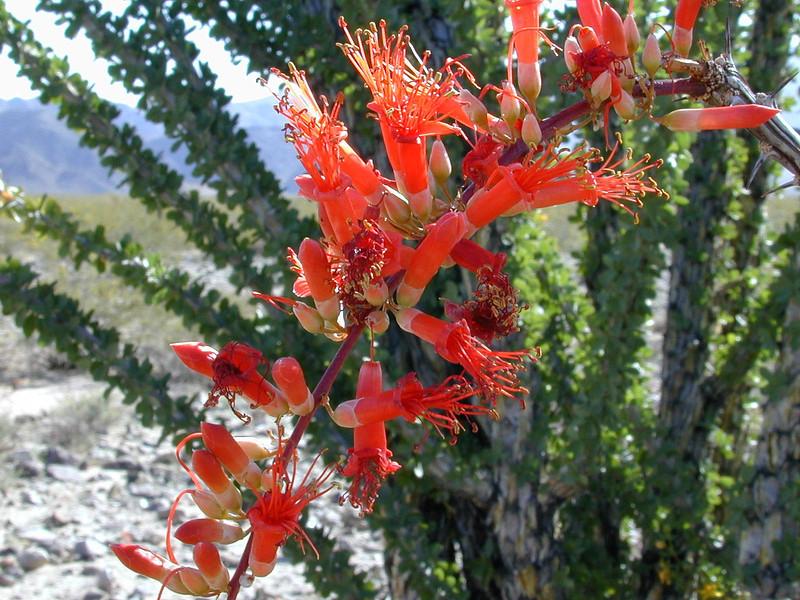 Ocatillo (Fouquieria splendens)