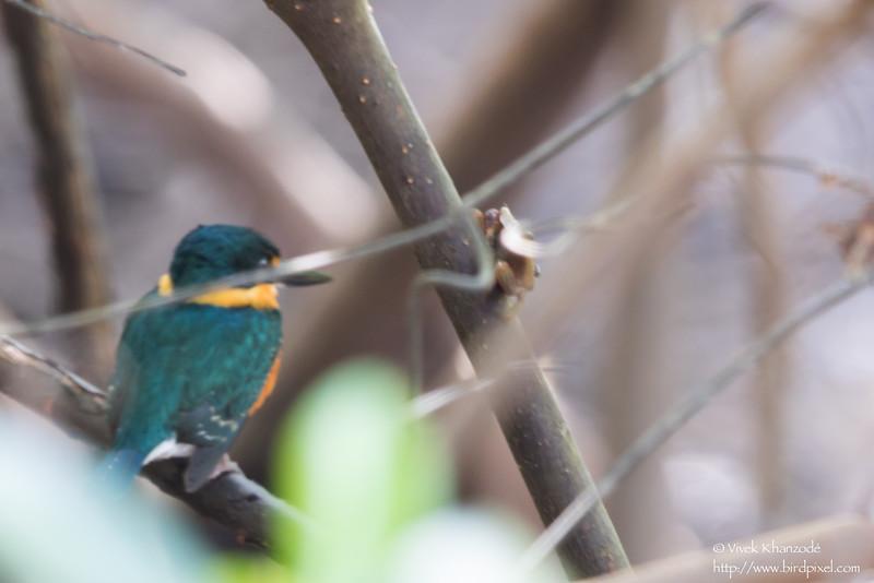 American Pygmy Kingfisher - Female - Record - Nariva Swamp, Trinidad