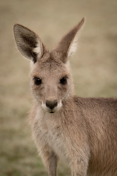 Young Eastern Grey Kangaroo, Queensland