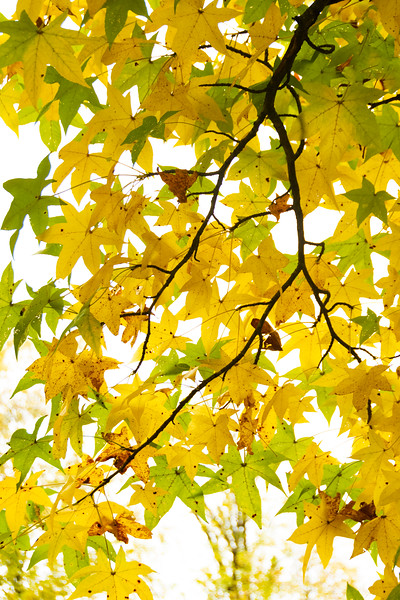 Fall Leaves High Key.jpg