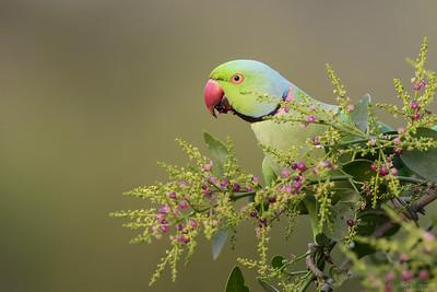 Swifts, Cuckoos & Parrots / Seglare, gökar och papegojor