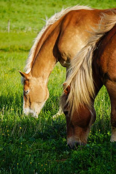horses - grazing in pairs(p).jpg