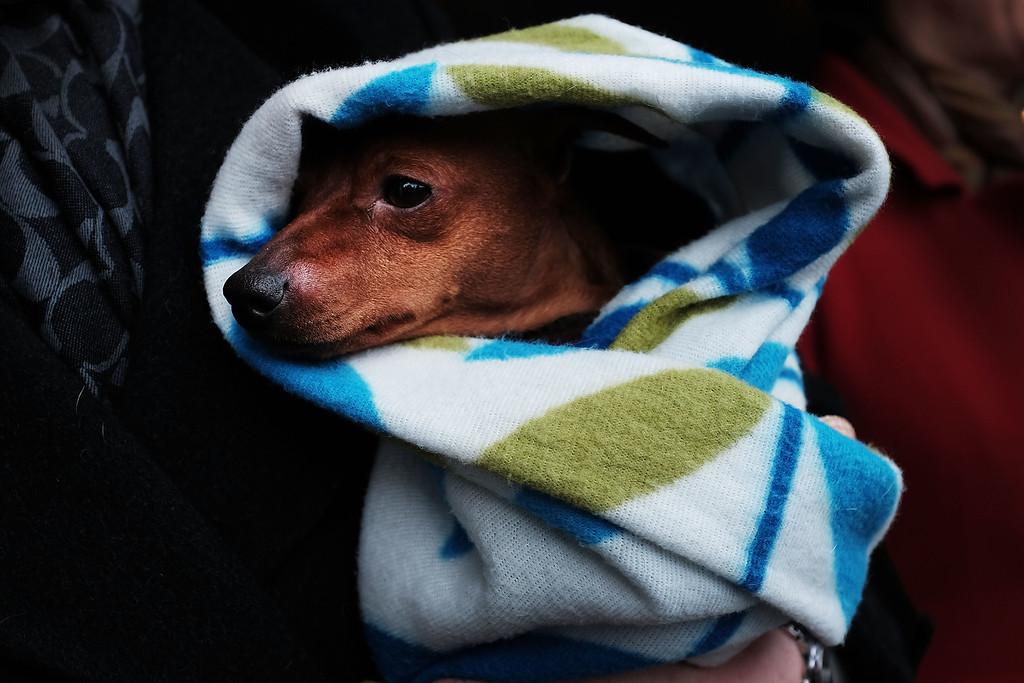 ". NEW YORK, NY - FEBRUARY 16: Skeeter, a Miniature Pinscher, is kept warm by his owners while waiting for a shuttle at the Westminster Kennel Club Dog Show on February 16, 2015 in New York City. The show, which is in its 139th year and is called the second-longest continuously running sporting event in the United States, includes 192 dog breeds and draws nearly 3,000 global competitors. This year\'s event begins on Monday and will conclude with the awarding of ""Best of Show\"" on Tuesday night.  (Photo by Spencer Platt/Getty Images)"