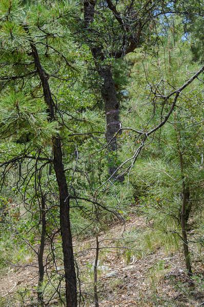 Prescott National Forest.