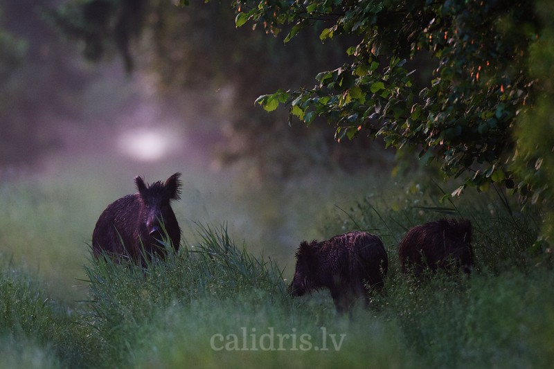 A female wild boar with beginning of summer with couple of year old piglets
