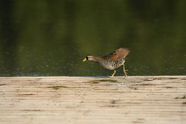 Wading birds, Rails, Ibis