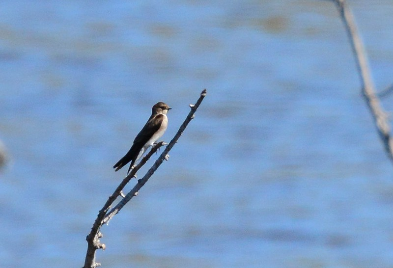 Northern Rough-winged Swallow - 2/15/15 - Dairy Mart