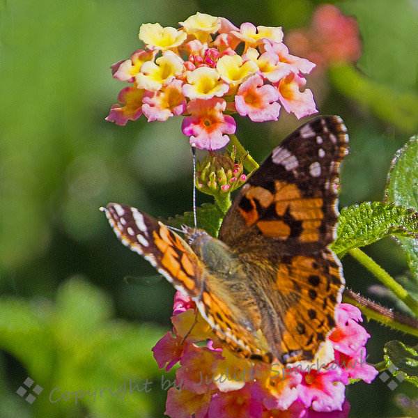Painted Lady on Lantana - Judith Sparhawk