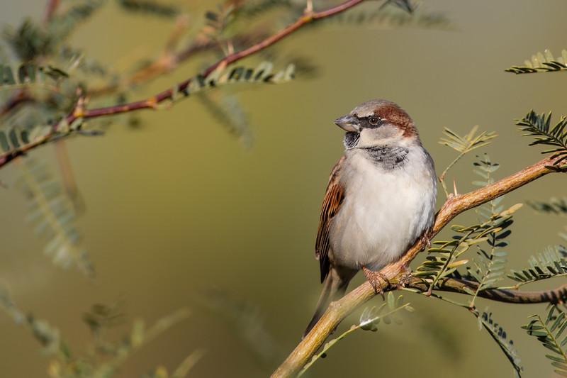 House Sparrow - AZ, USA