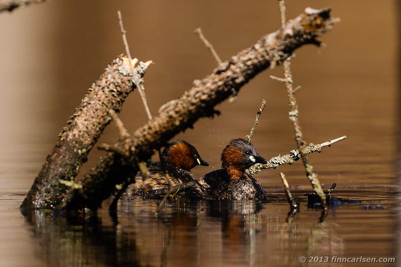 Lille lappedykker (Little Grebe - Tachybaptus ruficollis)