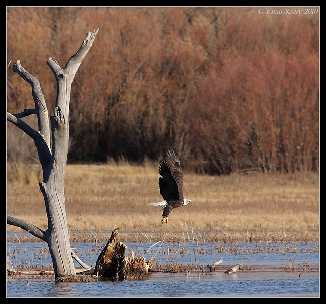 Bald Eagle takeoff, Bosque Del Apache, Socorro, New Mexico, November 2010