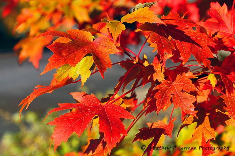 Maple_0886 Seasonal Blush 205.jpg