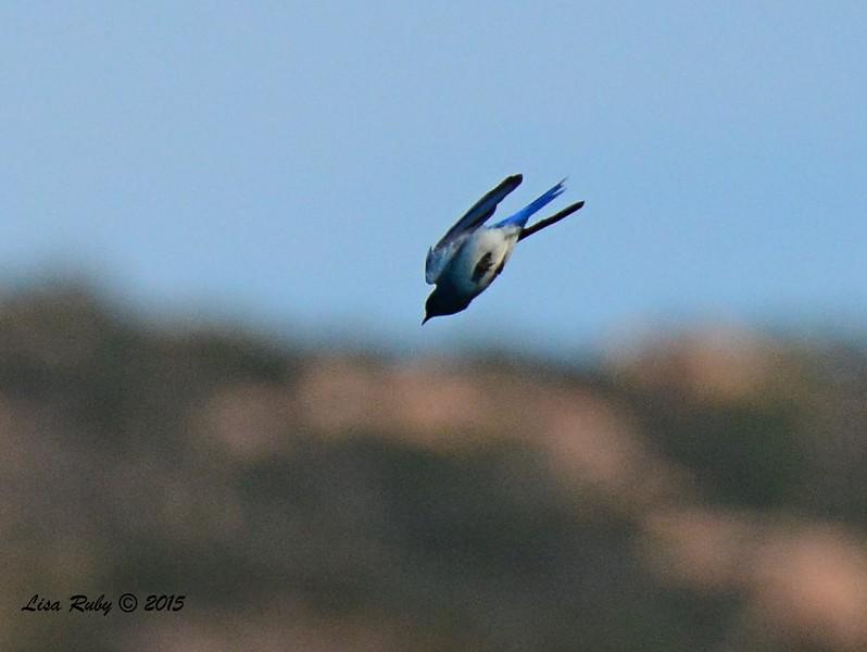 Male Mountain Bluebird - 1/19/2015 - Rangeland Road, Ramona
