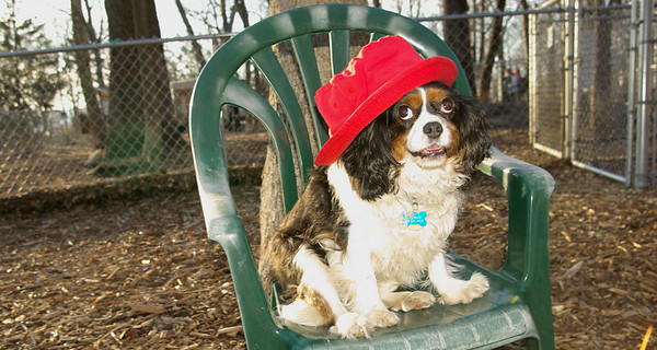charlie Spaniel (hat test)
