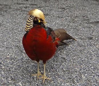 Golden Rooster 金雞獨立, 台中孔雀園 2010