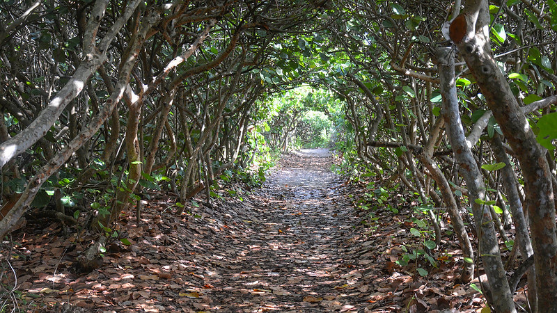 Tunnel under sea grape boughs