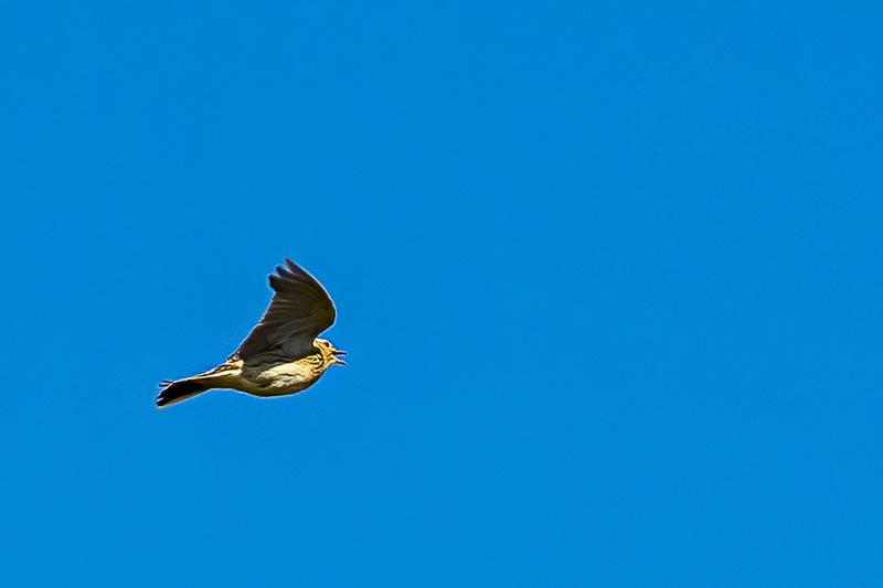 Skylark Ascending 2287-.jpg