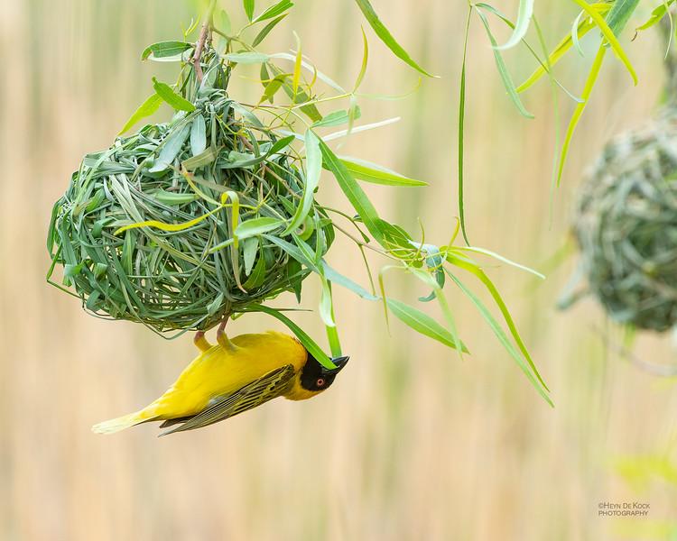 Southern Masked Weaver, Pilansberg National Park, SA, Dec 2013.jpg