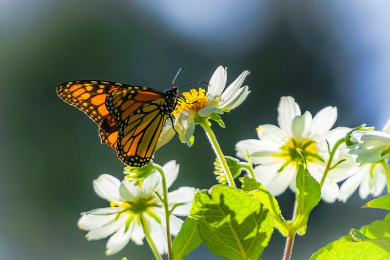 Monarch Butterflies 3 (1 of 1).jpg