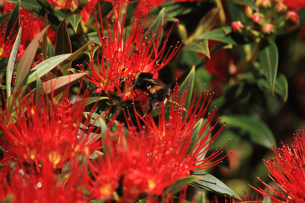 Southern Rata with Bumble Bee and Hylaeus Bee