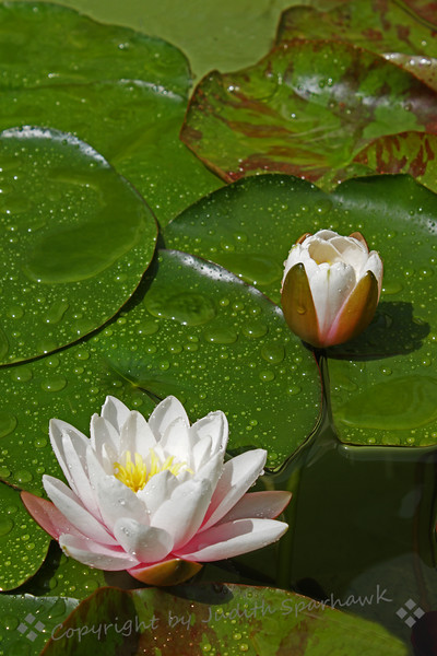 Lily and Bud ~ The fountain in this pond left wonderful droplets on the lily pads and the flowers.