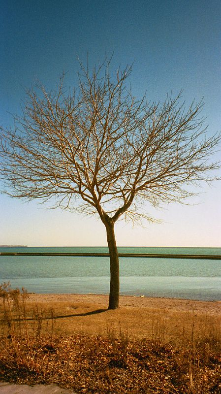 Winter Tree -- Toronto (APS Film Scan)