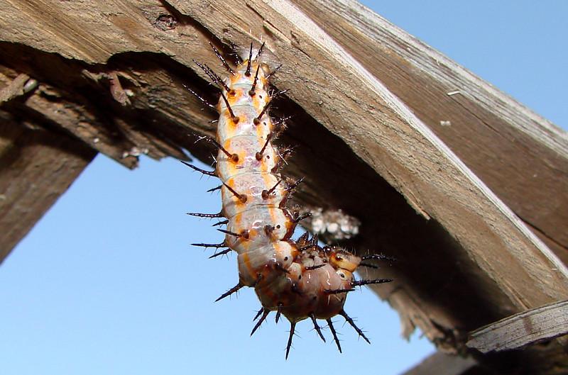 Gulf Fritillary caterpillar preparing to pupate. TX: Tarrant Co. (Duhons' Fort Worth yard), 17 July 2007.