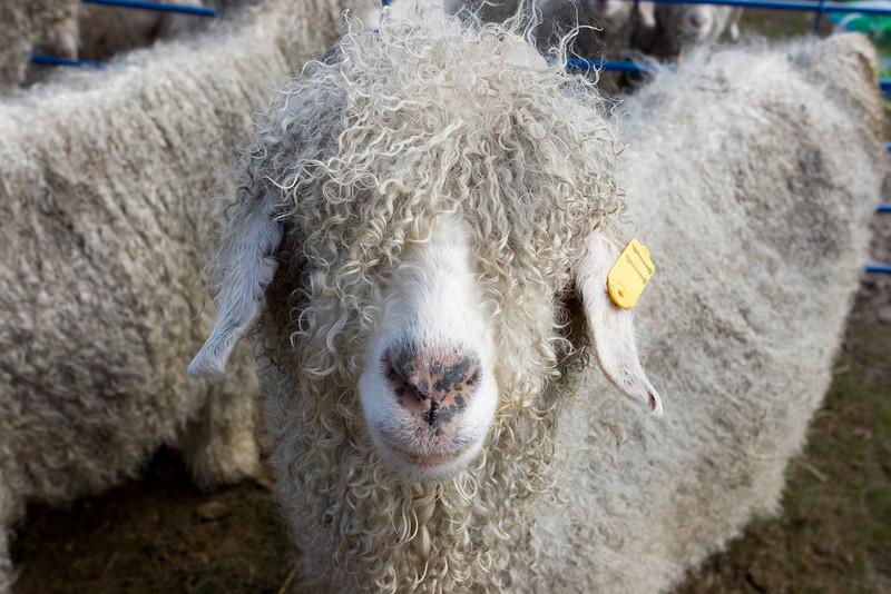 Hairy goat.