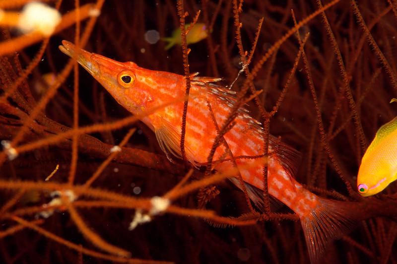 Langnasen-Korallenwaechter, Sudan, Rotes Meer / Longnose hawkfish, Sudan, Red Sea Oxycirrhites typus