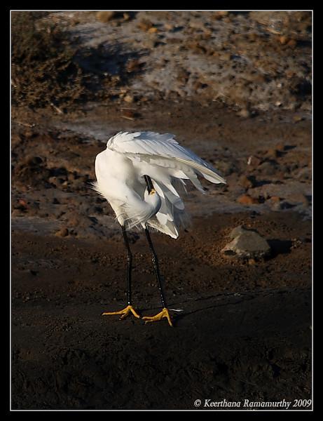 Snowy Egret, Famosa Slough, San Diego County, California, June 2009