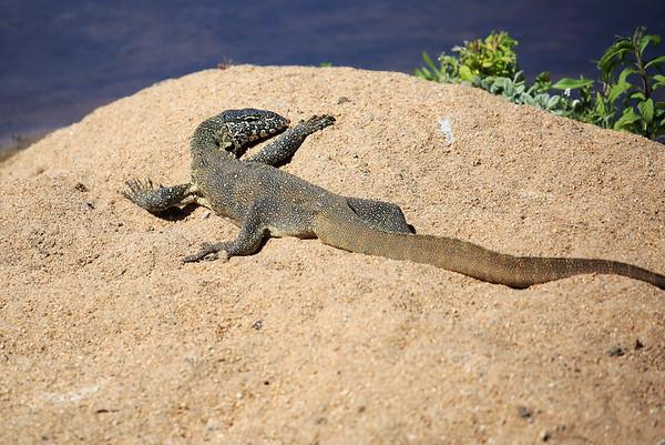 Lizard South Africa 2004