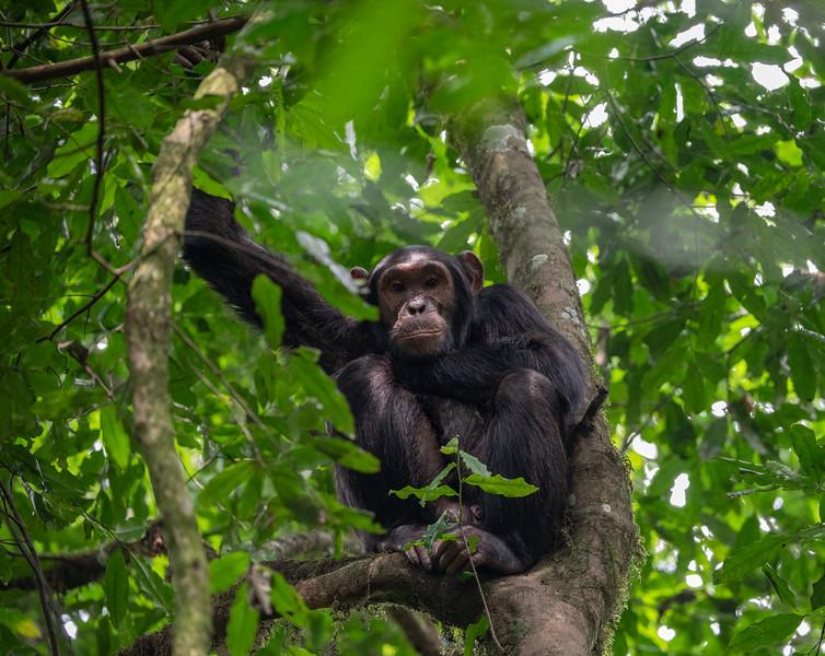 Uganda_T_Chimps-1631.jpg