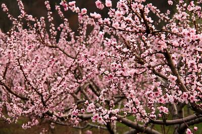 cherry blossom trees hudson valley ny