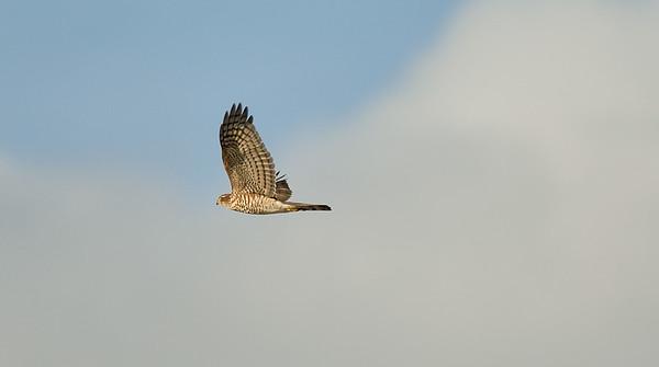Falcons & hawks