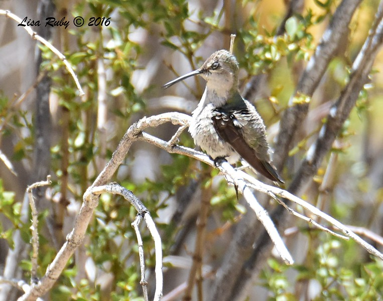 Hummingbird, can't decide on species, but leaning towards Costa's - 5/26/2016 - Tamarisk Grove Campground