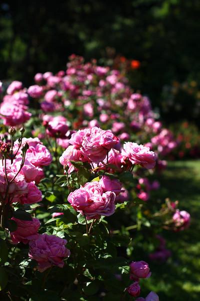 Portland International Rose Test Garden  2192.jpg