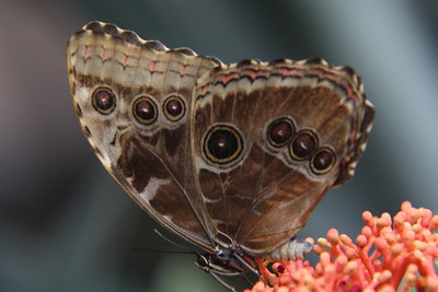 MORPHOS BUTTERFLIES 3-14-15