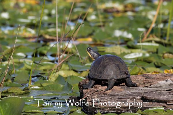 Turtle, Blandings