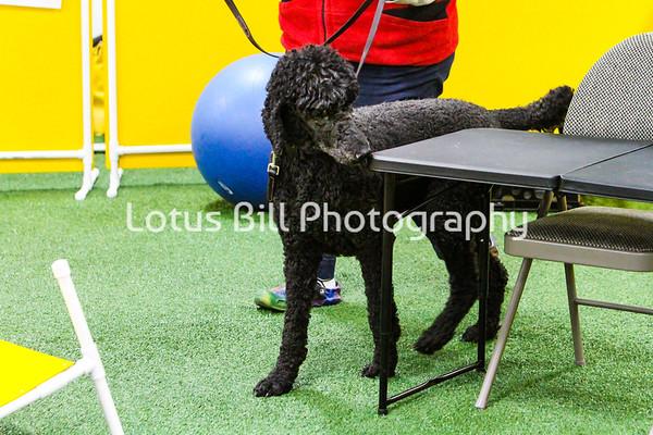 Standard Black Poodle KY
